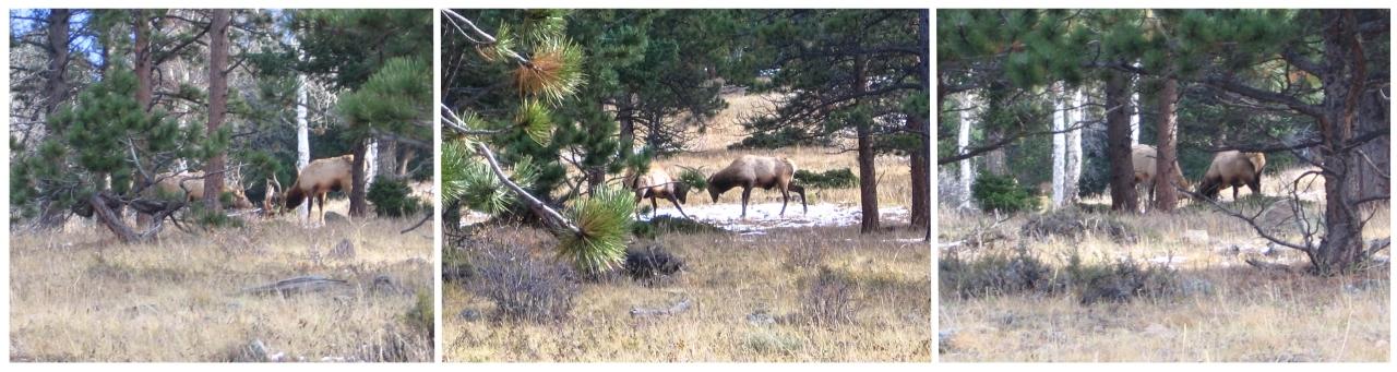 Rutting Elk_-2861_Triptic